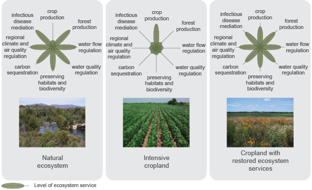 The diagram shows a natural ecosystem, intensive cropland and cropland with restored ecosystem services. It shows that for natural ecosystems, infectious disease mediation, regional climate and air quality regulation, carbon sequestration, water quality regulation, water flow regulation, preserving habitats and biodiversity and forest production is high, but crop production is low. For intensive cropland, crop production is high but the other services are low. For cropland with restored ecosystem services, all services are high.